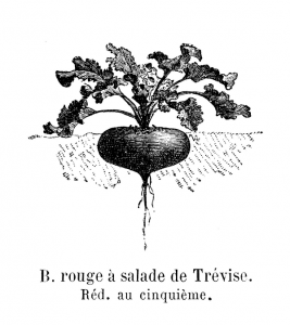 betterave-rouge-salade-trevise-vilmorin-andrieux-1904