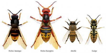 frelon-asiatique-frelon-europeen-abeille-guepe-hymenopteres