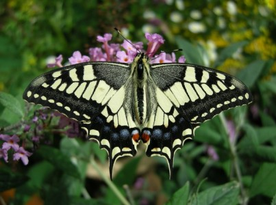 Machaon sur du buddleia